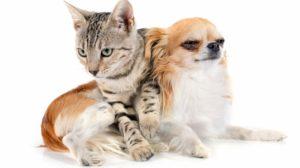 Bengal cat and dog