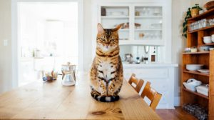 Bengal cat sat on a table