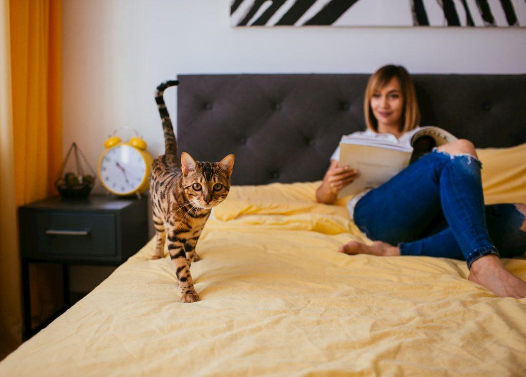 bengal cat walking on bed