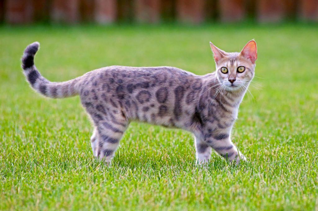 blue bengal cat grass