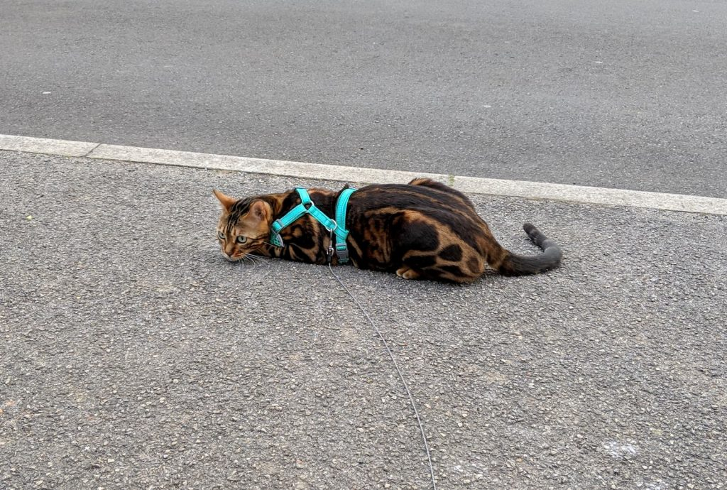 Bengal cat wearing a lead and harness