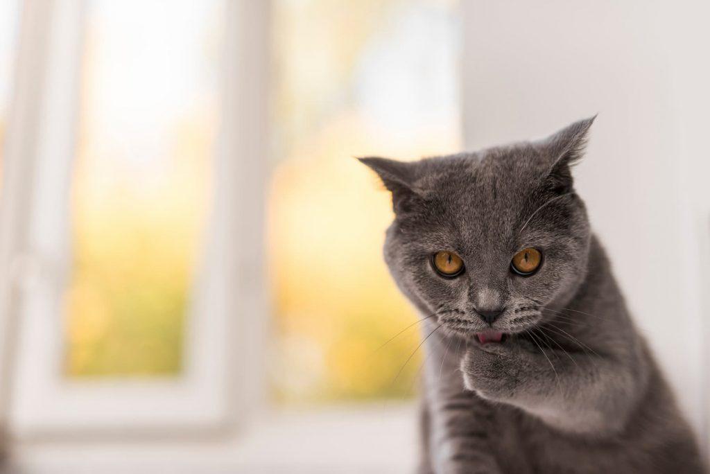 British Shorthair cat indoors licking its paw