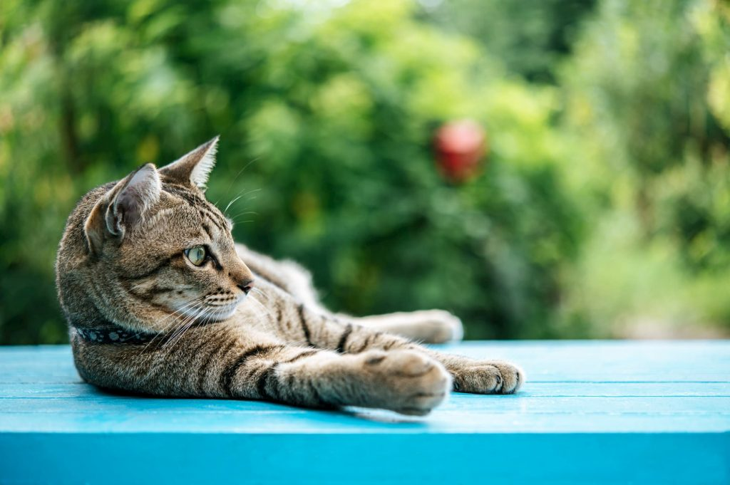 Grey cat laying outside