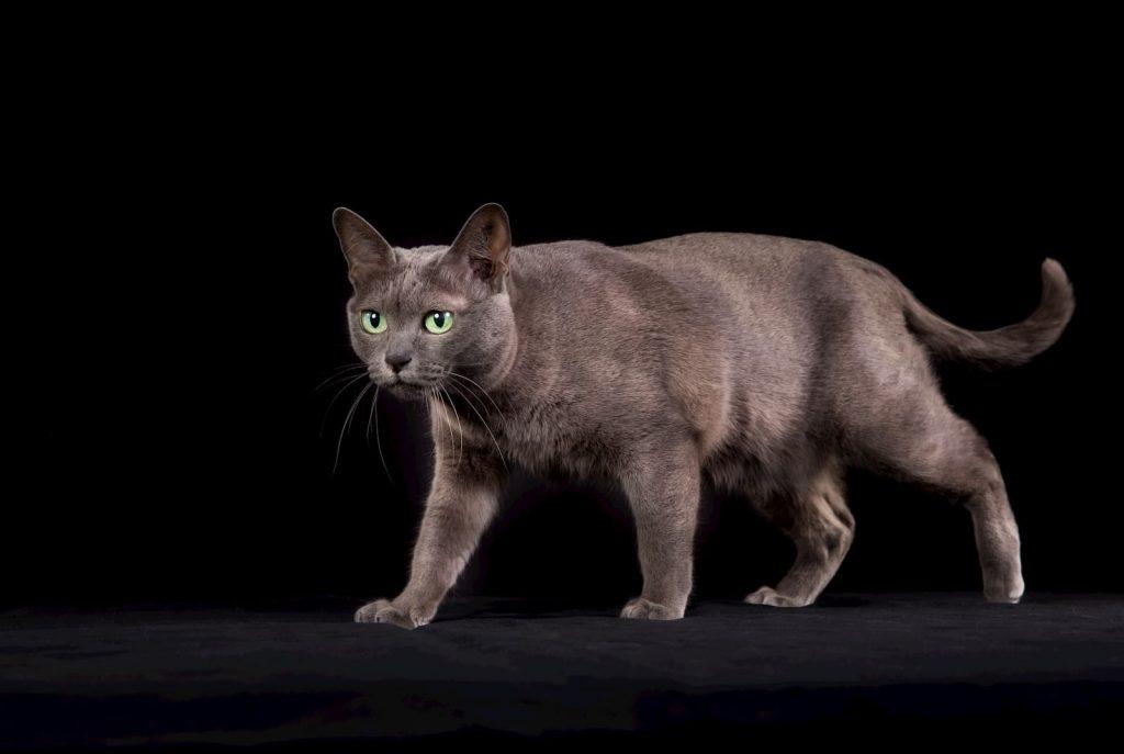 Korat cat on black background