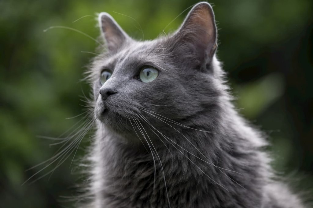 Nebelung cat on nature background