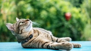 Tabby cat laying on table and looking up