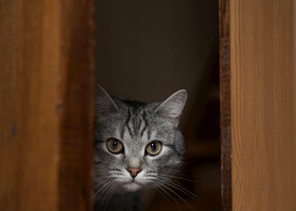 Grey cat hiding behind door