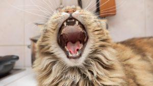 Furry cat yawning