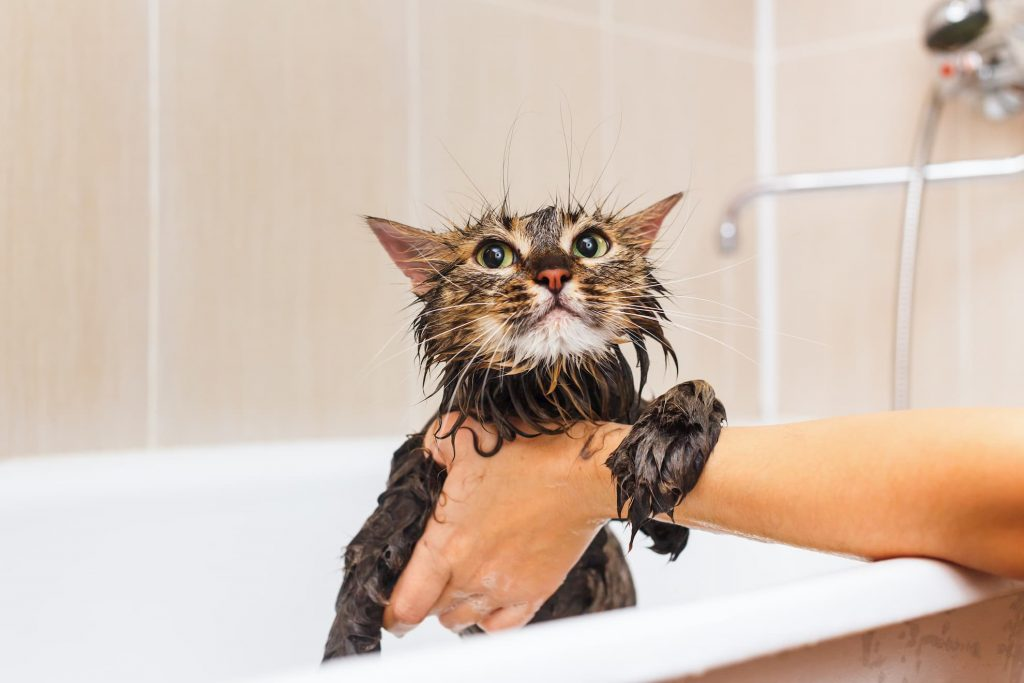 Wet cat being washed in baththub