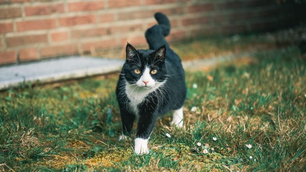 Black and white cat walking around garden